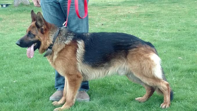 Montana German Shepherd Puppies For Sale Mt German Shepherd Dogs