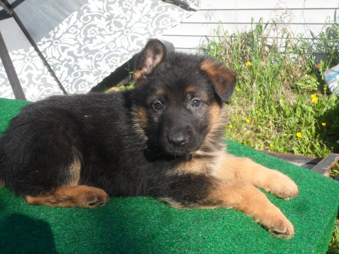 German shepherd breeding rights